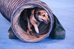 Dog Agility Training Albany NY