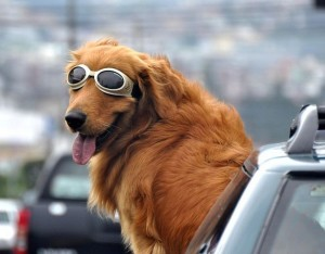 Golden-Retriever-riding-out-car-window-wearing-goggles